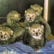 Im Safaripark Stukenbrock sind 5 Gepardenwelpen geboren worden